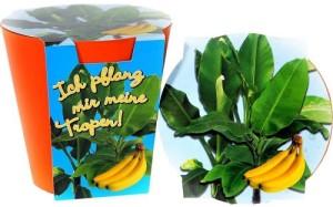 637_large--bananen-pflanze